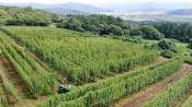 緑の棚、香り育む毬花 遠野・ホップ畑