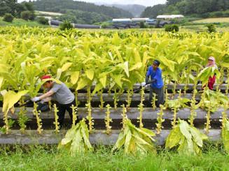 人の背丈を超えるほどに育った葉タバコ=22日、二戸市浄法寺町