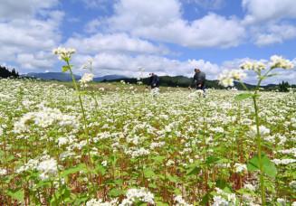 青空の下、一面を白く染めるソバの花=24日、西和賀町沢内
