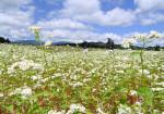 収穫待つ白い輝き 西和賀のソバ畑