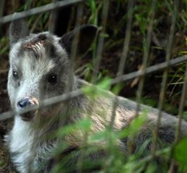 盛岡市動物公園で今月誕生したニホンカモシカの赤ちゃん