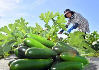 鮮やかな緑色に実ったズッキーニ=25日、紫波町西長岡