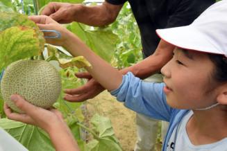 黄金メロンの収穫に取り組む児童