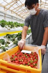 夏イチゴを収穫するリアスターファームの従業員