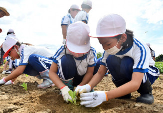 白菜の苗に丁寧に土をかける児童