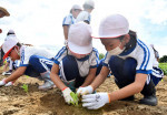 賢治の白菜、大きく育て 花巻・「下ノ畑」で児童ら苗植え