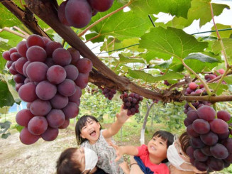 甘い香りが漂う中、ブドウの収穫体験を楽しむ家族=6日、紫波町佐比内