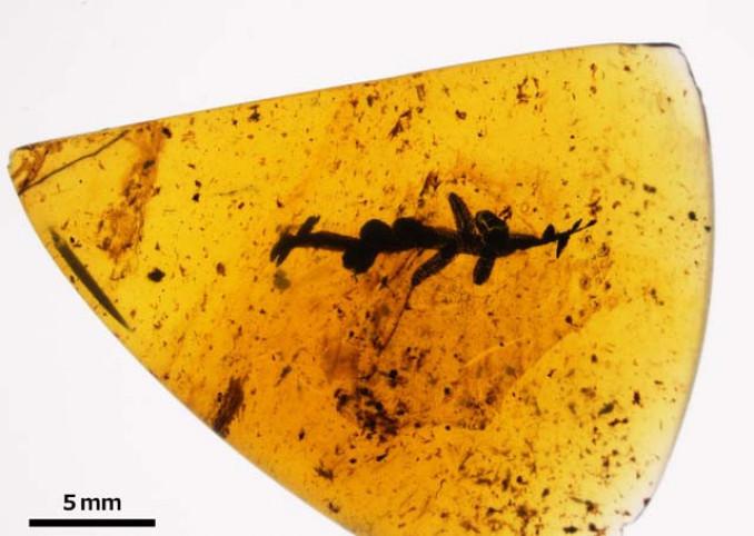 新種のクジフタマタゴケが入った琥珀。中央付近にある円盤状の枝が特徴だ(提供・服部植物研究所、協力・久慈琥珀博物館)