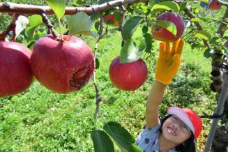 自らデザインした絵付きのリンゴを収穫する八重畑小の児童=11日、花巻市石鳥谷町