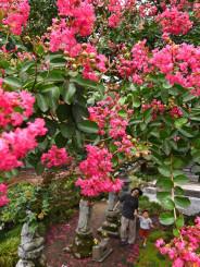 秋風がそよぐ中、色鮮やかに咲くサルスベリ=12日、陸前高田市米崎町・普門寺