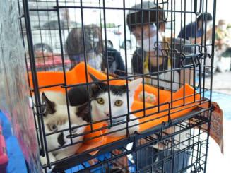 譲渡会で里親との出合いを待つ猫。スタッフは感染予防を徹底するが、来場者の足は遠のいたままだ=花巻市内