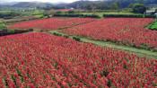 一面染める実りの赤 軽米のアマランサス畑