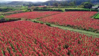 畑一面を赤く染めるアマランサス=軽米町晴山(本社小型無人機から撮影)