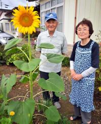 矢島小の児童が風船と一緒に飛ばしたヒマワリの種が見事な花を咲かせ、喜びに浸る阿部行雄さん、泰子さん夫妻