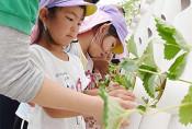 イチゴ、大きく育って 八幡平市の観光施設で園児が定植