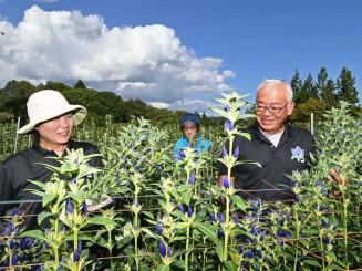 秋晴れの下、リンドウの収穫に励む種市新一さん(右)=19日、八幡平市上の山