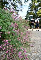 赤紫色の花を咲かせ、秋の訪れを告げる毛越寺のハギ