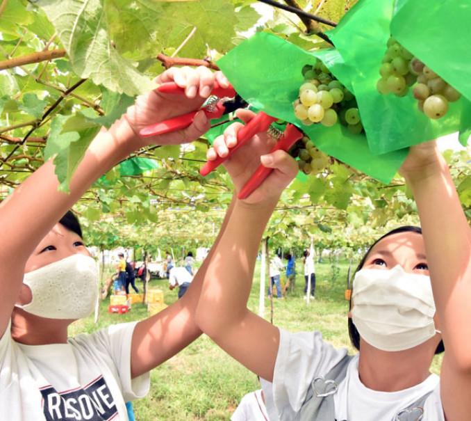 ブドウの収穫体験を楽しむ子どもら