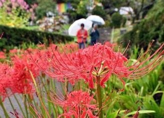 雨つゆにぬれ、しっとりと咲き誇るヒガンバナ=25日、北上市稲瀬町・如意輪寺