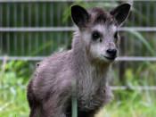 初めまして「なつ」です 盛岡市動物公園、カモシカの愛称決定