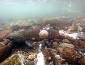 寄り添う魚体 染まる秋色 盛岡・中津川にサクラマス