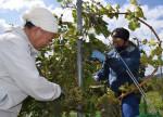 ワイン用ブドウたわわに 遠野・就労支援施設利用者ら収穫