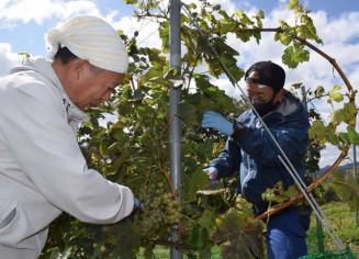 ブドウを摘むまごころ就労支援センター釜石の利用者ら