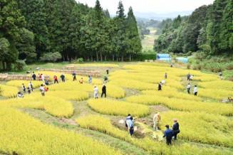 黄金色の稲穂が広がる金山棚田。市民有志の協力で実りの秋を迎えた
