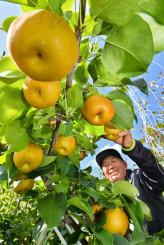 秋空の下、ナシの収穫に励む田山初夫さん=5日、盛岡市乙部