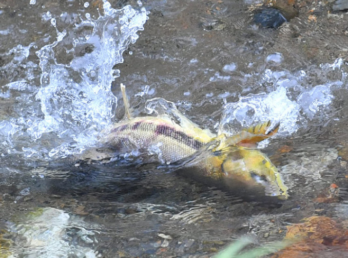 長旅を終えて中津川に戻り、水しぶきを上げるサケ=7日、盛岡市浅岸・浅岸橋上流