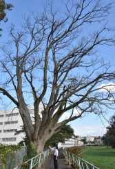 枯れていることが分かり、伐採が検討されている盛岡市景観重要樹木「岩手女子高校のエゾエノキ」