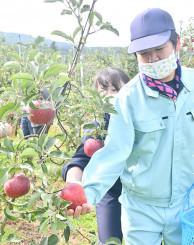 リンゴの出来を見極めながら、丁寧に収穫する生徒