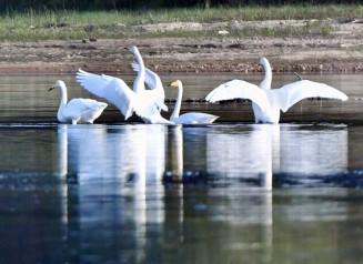 長旅を終え、湖面で羽を休ませるハクチョウ=16日、雫石町・御所湖