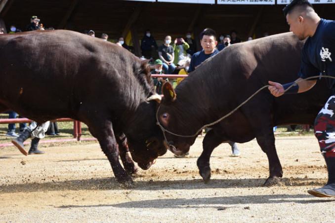 巨体を躍動させ、激しく角を突き合わせる闘牛