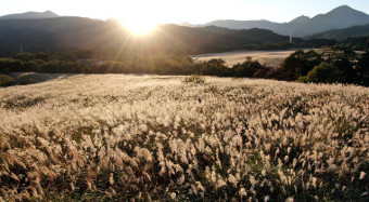 南部茅の産地で知られる千貫石茅場。夕日を浴びたススキが金色に染まる=20日、金ケ崎町西根(本社小型無人機から撮影)