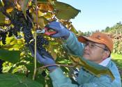 収穫作業楽しんで 野田特産品ヤマブドウ、「お土産」も