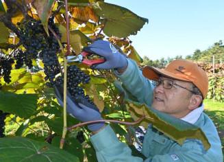 ヤマブドウの収穫に取り組むボランティア