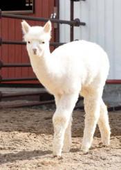 「モモ」と名付けられたアルパカの赤ちゃん