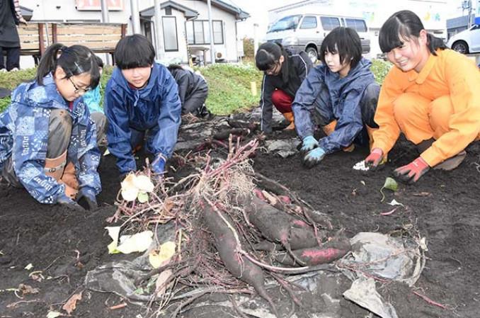 即売会に向けて育てたサツマイモを収穫する家庭部の生徒