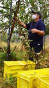 紫波町でリンゴ6千個盗難 収穫直前、被害120万円