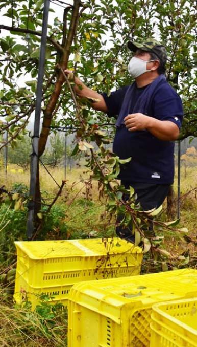 収穫間近のリンゴ約6千個が盗まれた畑。枝は折れ、踏み台に使ったとみられる収穫用のコンテナが散乱する=2日午後2時55分、紫波町東長岡