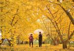秋一色、イチョウ並木 矢巾・室岡さん方