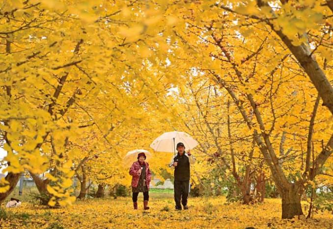 色づいたイチョウ並木の中を散策する室岡忞さん、小枝子さん夫妻=2日、矢巾町室岡(報道部・山本毅撮影)
