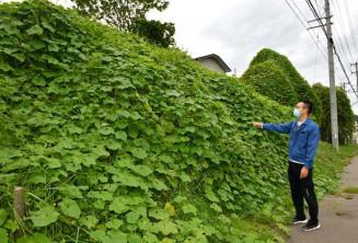 斜面や木々を覆うアレチウリ。農地では作物を覆い生育を阻害している=二戸市石切所