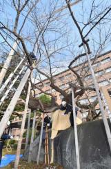 雪囲いが施される石割桜=19日、盛岡市内丸