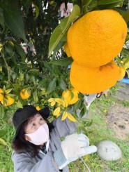 ユズの香りを楽しみながら収穫する参加者