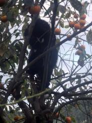 住宅の庭で柿の木に登る子グマ=10月、富山県黒部市