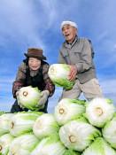大ぶり白菜 愛情たっぷり 北上で収穫最盛期