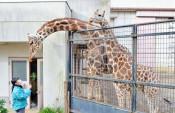 人気キリン「嫁入り」 盛岡市動物公園のカリン、30日で見納め