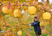 「冬恋」甘い香り 二戸でブランドリンゴ収穫